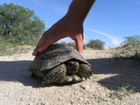Highlight for Album: Land Turtles of the Turkish Coast and Cappadocia